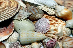shelling on sanibel island