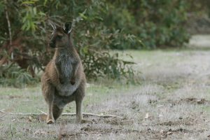 Kangaroo Island wildlife
